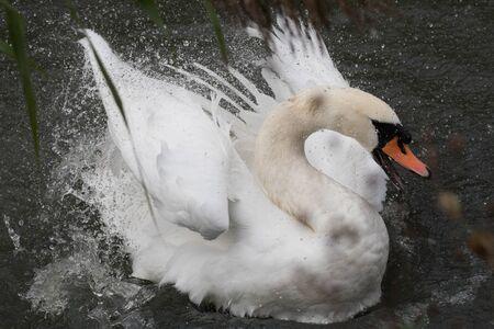 Swan splashes preening its feathers