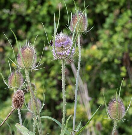 pesticides: A bee on a wild teasel plant