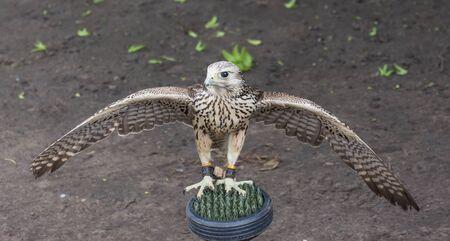 若鷹広がる前彼翼の飛行