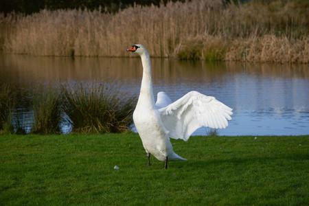 swan displays at a lake