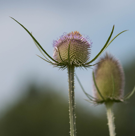 Teasel plant in a field Stock Photo