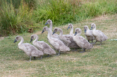 9 swan cygnets waddle to the riverbank