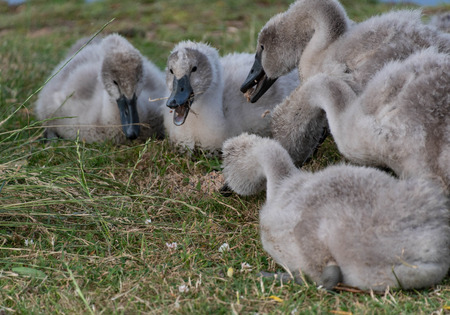 Cygnets feeding by a lake Stock Photo