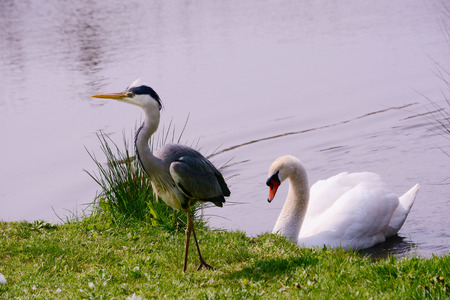A swan drives off a Grey Heron from his nest Stock Photo