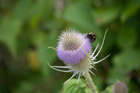 A honey bee on a teasel flower