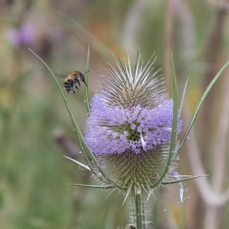 A honey bee on a teasel flower