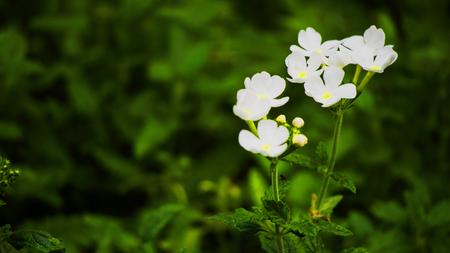 Golden dewdrop flower