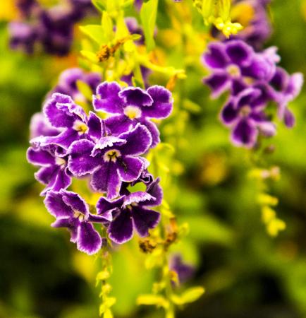 황금 dewdrop 꽃