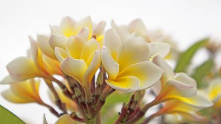 Beautiful Frangipani close up Stock Photo