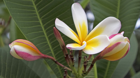 Beautiful Frangipani close up Stock Photo