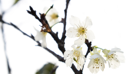 Cherry blossoms 写真素材