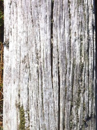 felled: Aged felled tree weathered with age