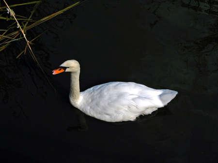 white swan in the river dark water