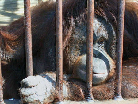Sad Orangutan Stock Photo - 567073