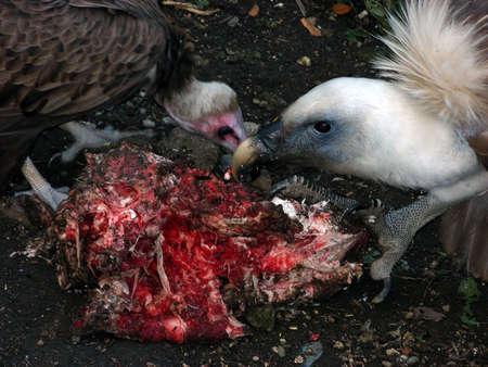 scavenging: Vultures Eating