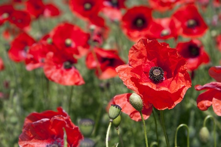 A close up of a poppy in a field. Intentional shallow depth of field. photo