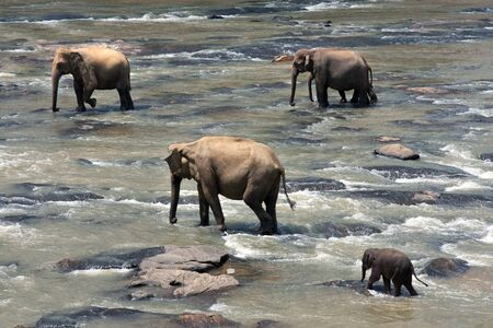 orphanage: Indian elephants in a river, Pinnawela elephant orphanage, Sri Lanka