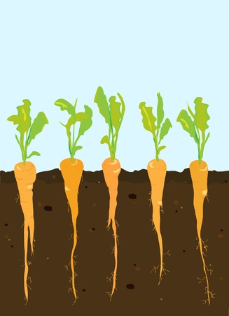 carrot: A cross-section of carrots growing in rich, dark soil.  Illustration