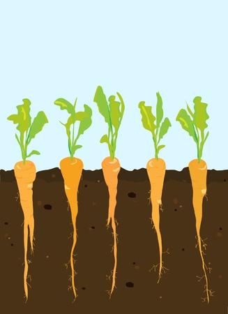 Een dwarsdoorsnede van de wortelen groeien in rijke, donkere bodem. Vector Illustratie