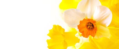 A close up of daffodils on white background with space for text Stock Photo - 10695095