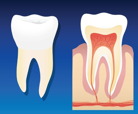 dental pulp: A vector illustration showing a complete healthy tooth with a cross section