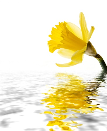A daffodil isoled on white reflected on water with copy space Stock Photo - 10799052