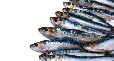 sardine: Sarde fresche contro sfondo bianco con copia spazio