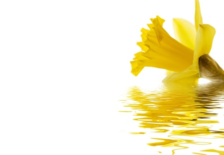 emerge: A daffodil isolated on white reflected on water with copy space