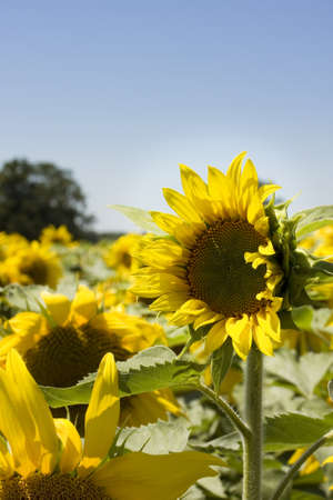 A sunflower stands out from the crowd by being taller than those around photo