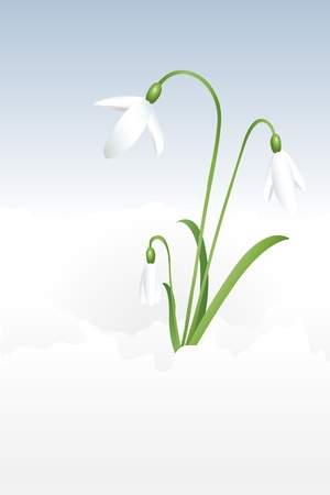 snow flowers: A vector illustration of snowdrops blossoming through the snow.