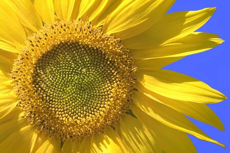 A close up of a sunflower bloom against clear blue sky Stock Photo - 10837685