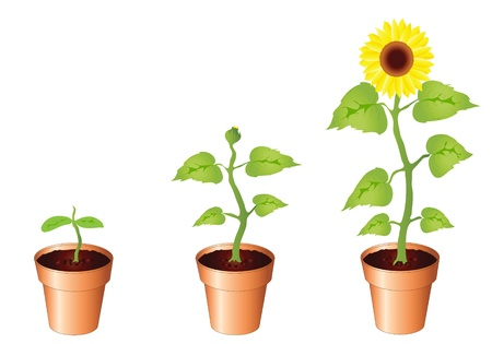 Illustration of sunflower through stages of growth, seedling, bud and bloom, isolated on white background with copy space. Available in portfolio as vector of jpg illustration