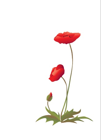 Illustration of poppies isolated on white background Vector