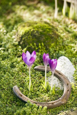 discarded: Spring scene of crocuses flowering on mossy background with discarded horseshoe