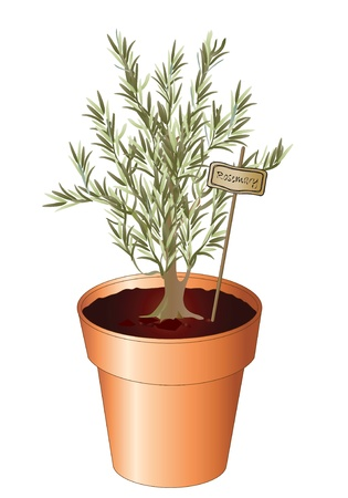 flowerpot: Vector illustration of the herb Rosemary growing in a pot isolated on white. Also available as jpg