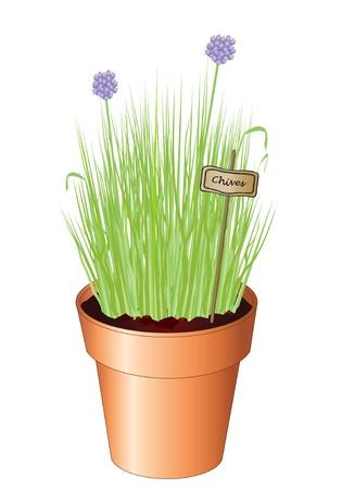 チャイブ: 白い変わった上に分離されて鉢植えのチャイブのベクトル イラスト。Jpg としてまた利用できます。