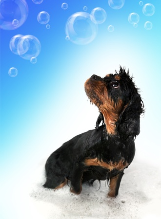 Marmaduke the black and tan King Charles Cavalier puppy takes a bath. Floating bubble background photo