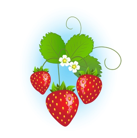 strawberry plant: Strawberry plant with ripe strawberries and flowers on blue background.