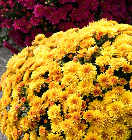 Chrysanthemum flowers for sale at a market  Stock Photo - 11151394