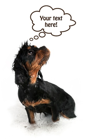 Marmaduke the black and tan Cavalier on white background with think bublle and space for your text. photo