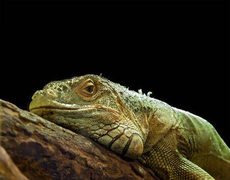 Green Iguana lizard, closeup with copyspace Stock Photo - 13515268