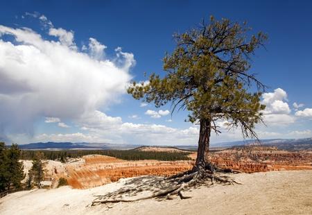 Lone tree at Bryce Canyon, Utah, USA, against dramatic sky  photo