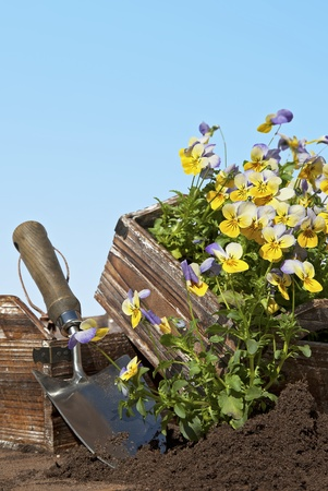 Still life of viola flowers being planted from seed trays. Space for your text. Stock Photo - 13555107