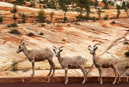 high desert: A trio of wild Mountain Goats by the roadside. Zion National Park, Utah, Usa Stock Photo