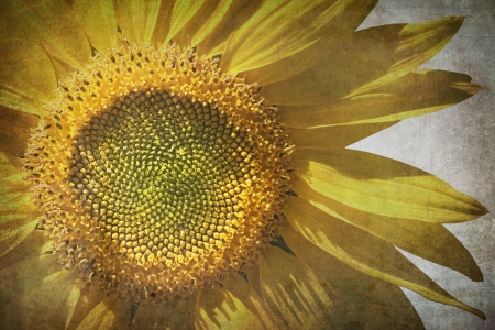 Vintage grunge sunflower background. Stock Photo - 13961280