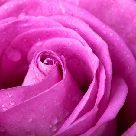 Pink rose closeup Stock Photo - 15487218
