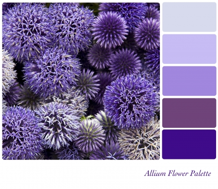 complimentary: Allium flower background colour palette with complimentary swatches