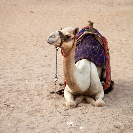 Desert camel, Cairo, Egypt  The paler camels, or white camel are more valuable and more revered by their Bedouin owners  photo