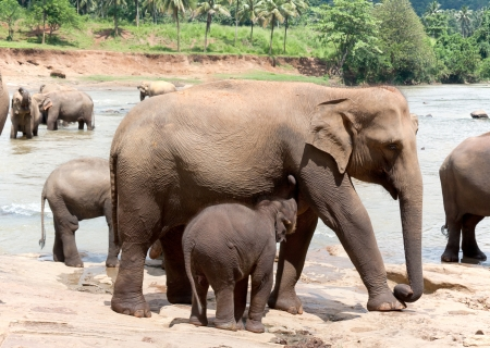 A female elephant feeds the baby. Pinnawela, elephant orphanage, Sri Lanka photo