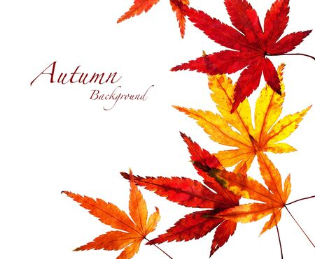 japanese maple: An Autumn background of colourful Japanese Maple leaves isolated on white. Space for your text.